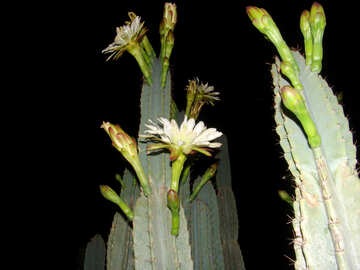 Cactus blooms at night №272