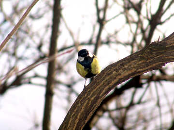 The titmouse on branch №877