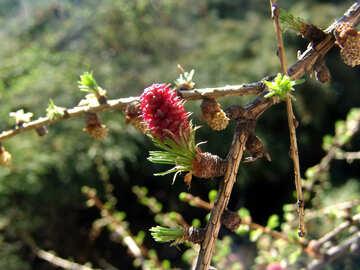Flower Lärche №537