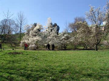 Blossoming magnolias №561