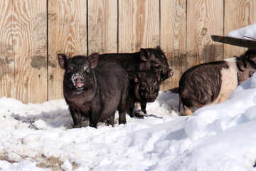 Family pigs in the snow №737