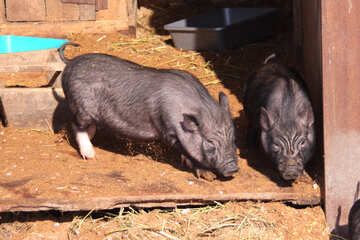 Two pigs №733