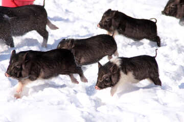 Vietnamese pigs rush at gallop in the snow №739