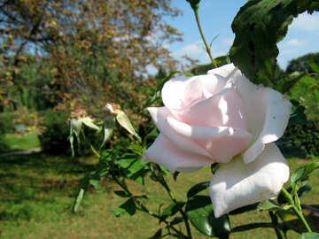 Rose light pink №540
