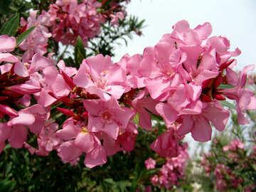 Fiori rosa №269