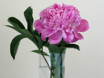 Pink peony in glass vase №879