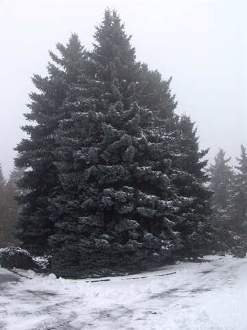 Snow-covered fir №408