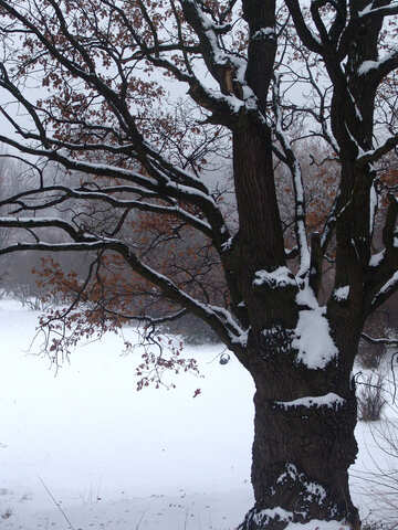 Old snow-covered oak №414