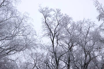 The trees in hoarfrost №436