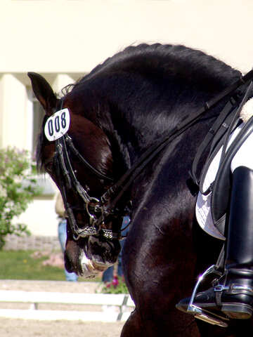 Black stallion. Dressage №761