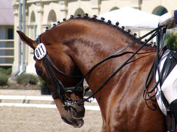 The muzzle is bay stallion at competitions in dressage №755