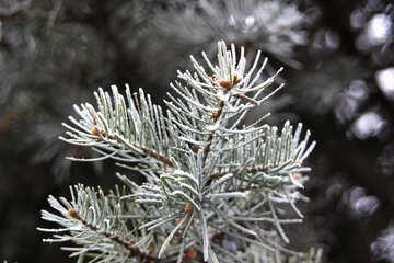 Frosty spruce branch