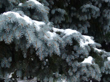 Blue spruce branch with snow №409