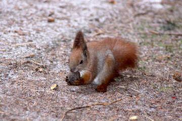 Eichhörnchen mit Nüssen №597