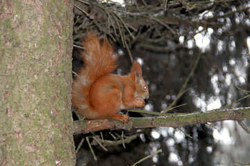 Squirrel chews on branch of walnut. №479