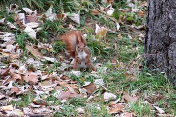Eichhörnchen stand auf die Hinterbeine in den Herbstfarben. №483