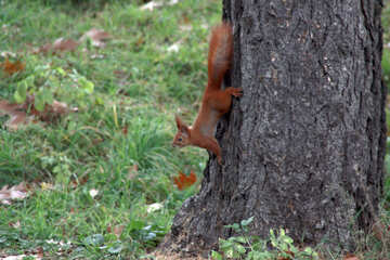 Squirrel on tree trunk №596