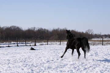 Black stallion to gallop №468