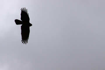 Crow flying against gray sky. Silhouette №588