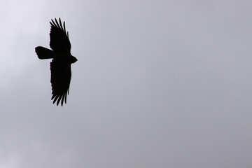 Corvo volo contro grigio cielo Siluetta №588