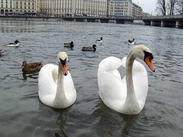 Two white swans have laid down their wings in the form of heart on the background of ducks. Switzerland. Geneva. Quay Mont Blanc.