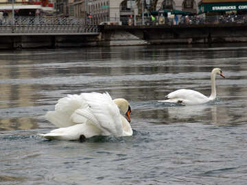 White swans swim. Switzerland. Geneva. Quay Mont Blanc. №388