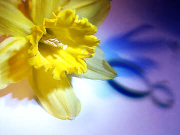 Narcissus on March 8 greetings