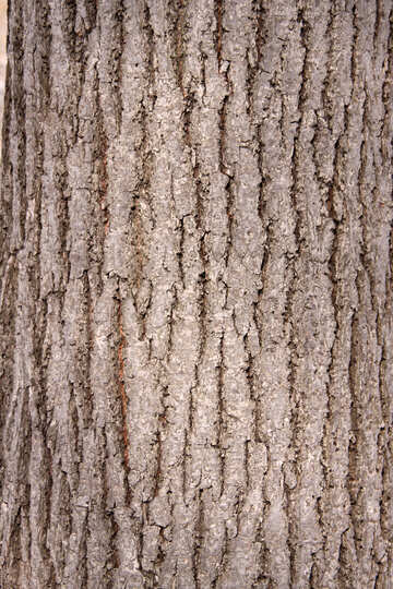 Deciduous tree bark texture №849