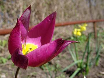 Tulip №529