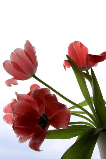 Blumenstrauß aus Tulpen №882
