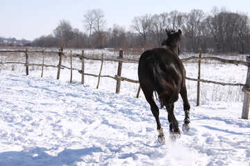 Young  horse  winter №473