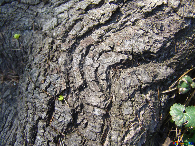 The bark of old wood №556