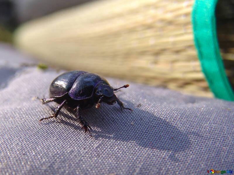 Bug an earth-boring dung beetle №675