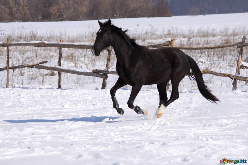 Black colt galloping №472