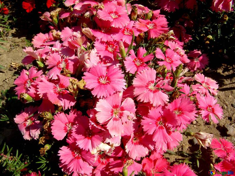 Turkish pink carnations №250