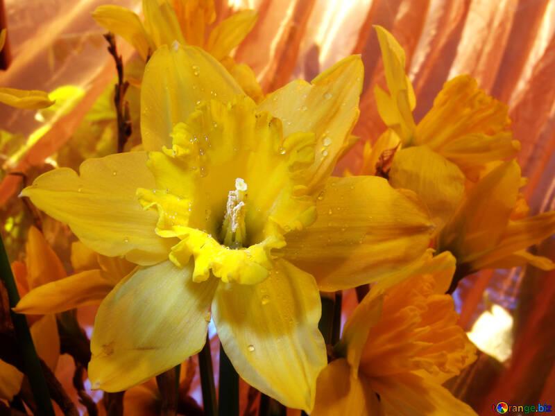 Mazzo di daffodils fine №525