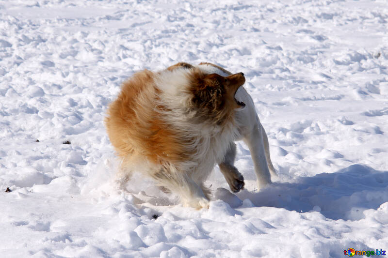 Aggressive  dog   fear  snarls №723