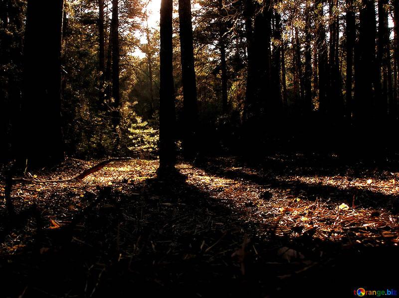 El amanecer en el bosque №281
