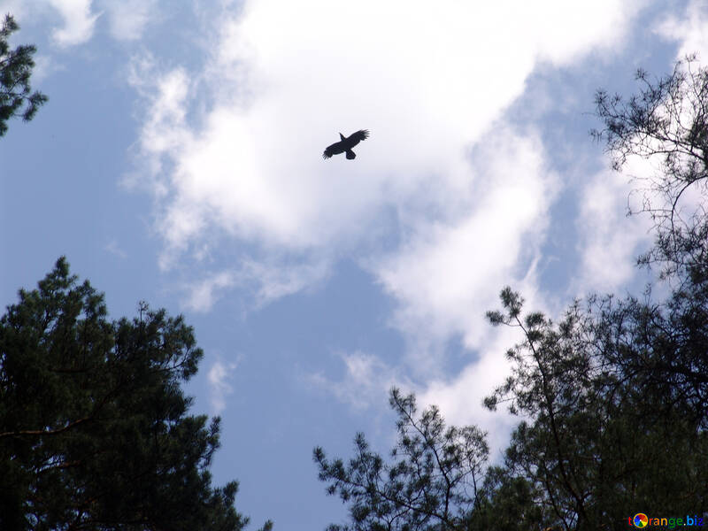 Raven flying over tops of pines №573