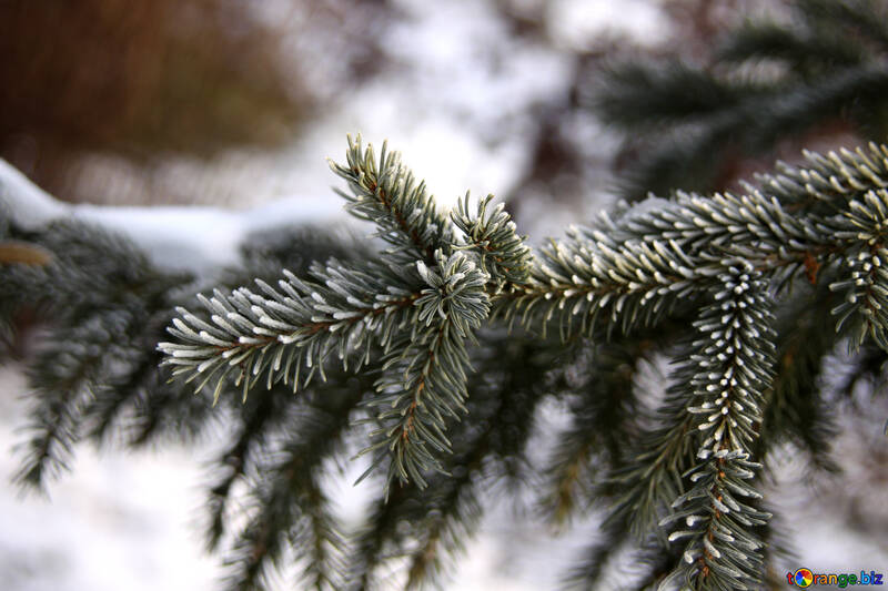 Rime of spruce branches №419