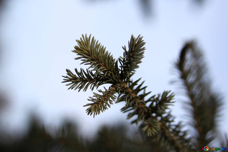 Fur-tree branch №416