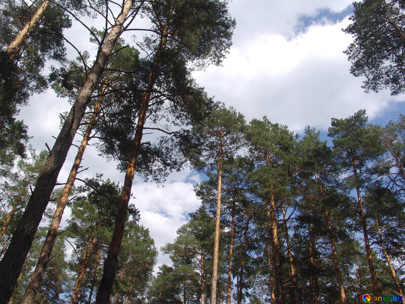 The pine forest in summer №571