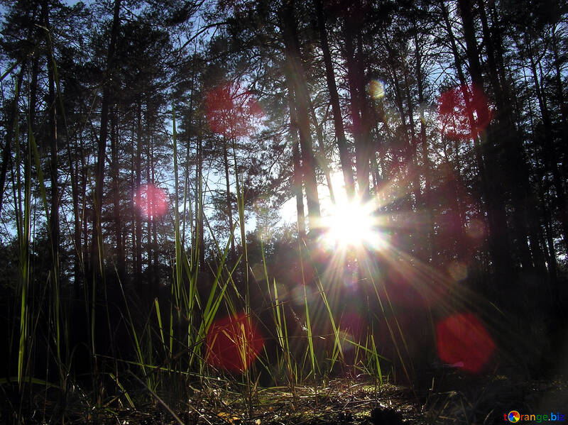 The sun`s rays in pine forest №286