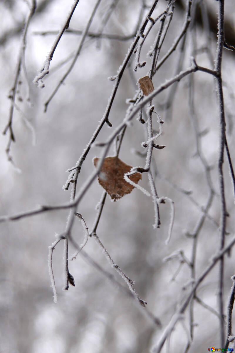Sprig of birch trees in hoarfrost №439
