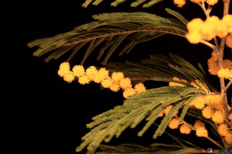 mimosas flores sobre un fondo negro  №966