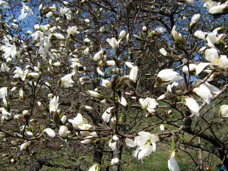 La magnolia blanco en el jardín botánico №548