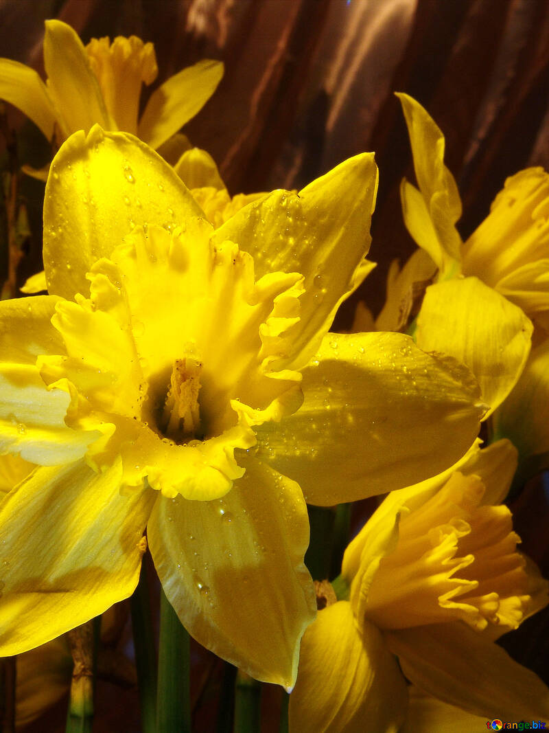Narcissus with drops of dew №523