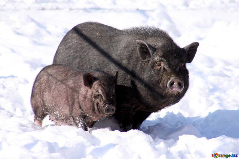 Beautiful pigs №741