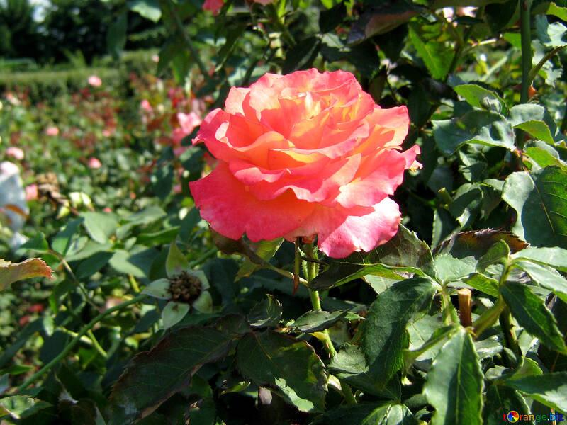La rosa rojo sobre el arbusto  №541