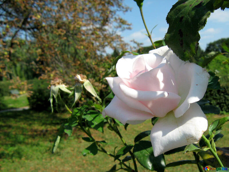 Ont augmenté légèrement rose №540